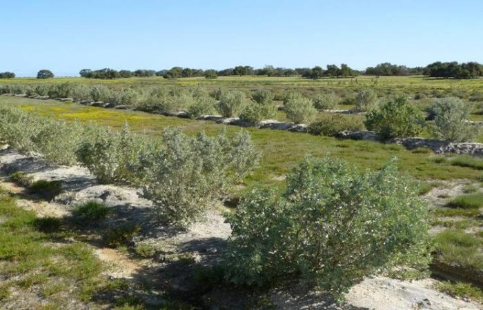 NLP 063045 - Creating Productive Saltbush Pastures on Saline Land
