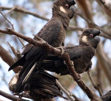 ILUKA – Supporting the community to conserve Carnaby's Black Cockatoo