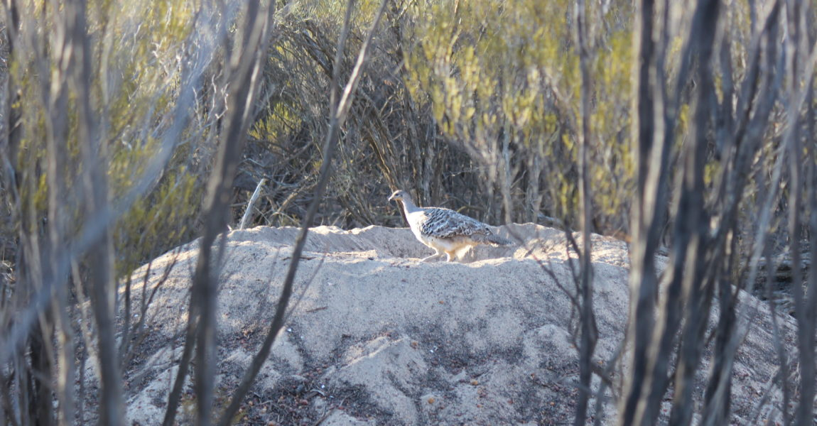 New Habitat planted for Malleefowl at Maya