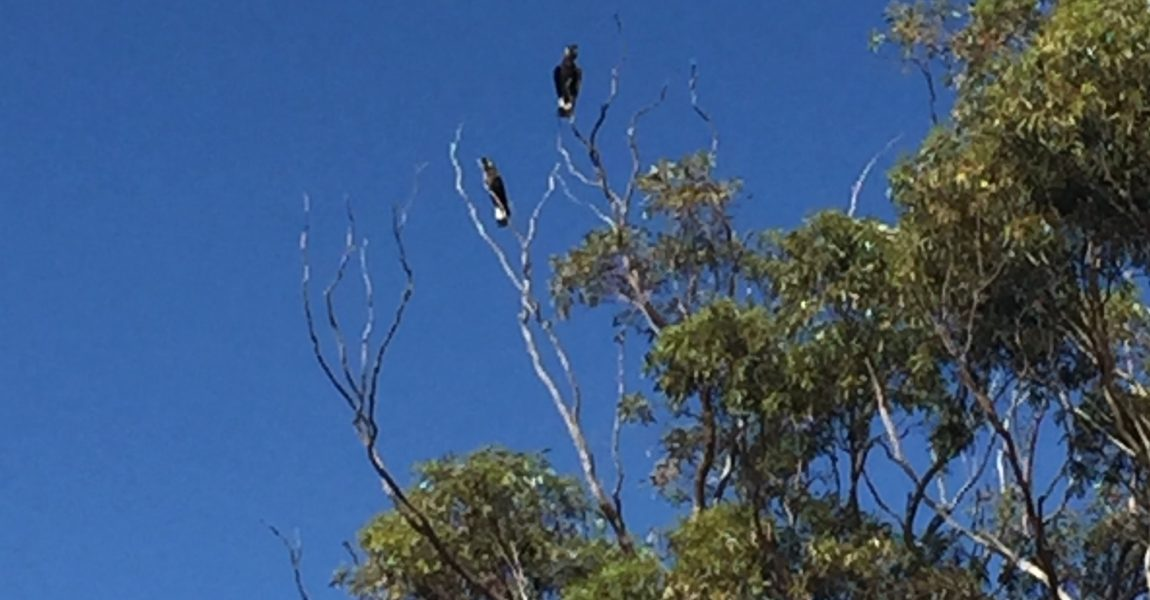 NLP 20MTR2-176: Increasing breeding habitat for Carnaby's Black Cockatoo in the Moore Catchment