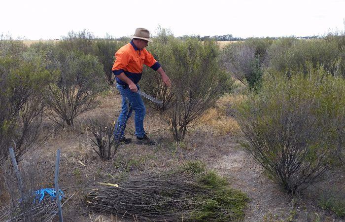 NAP 05N116-04 - Brushwood Industry Development on Saline Land