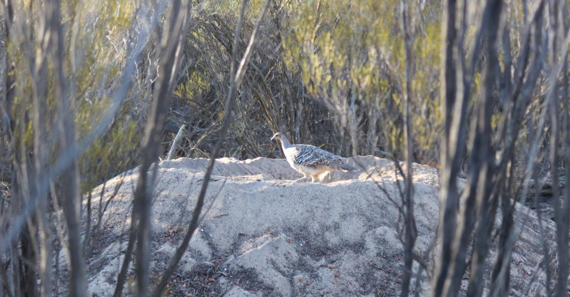 New Habitat planted for Malleefowl at Maya