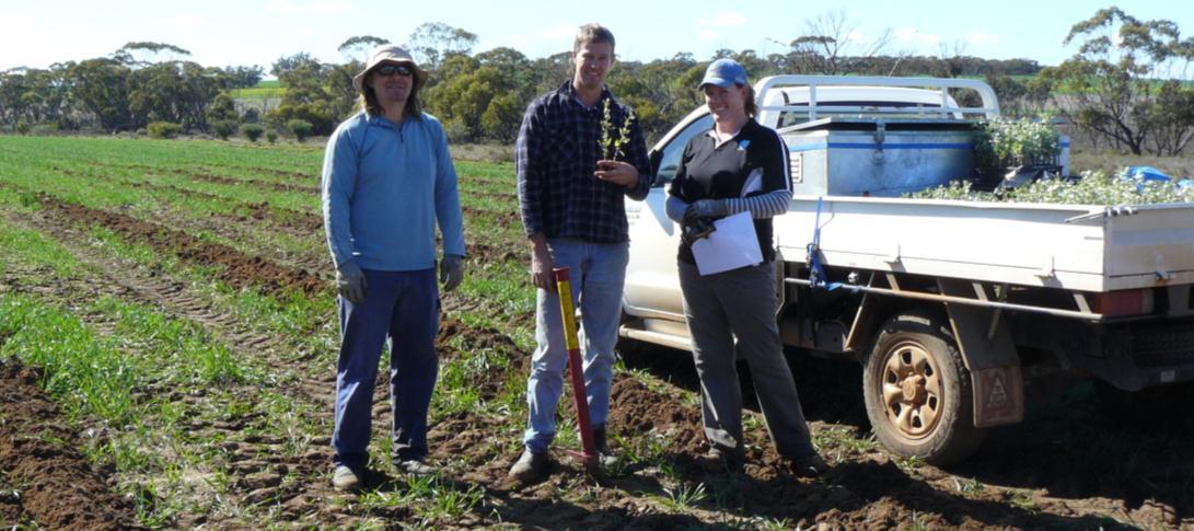Farmer ploughs wheat crop for elite saltbush trial