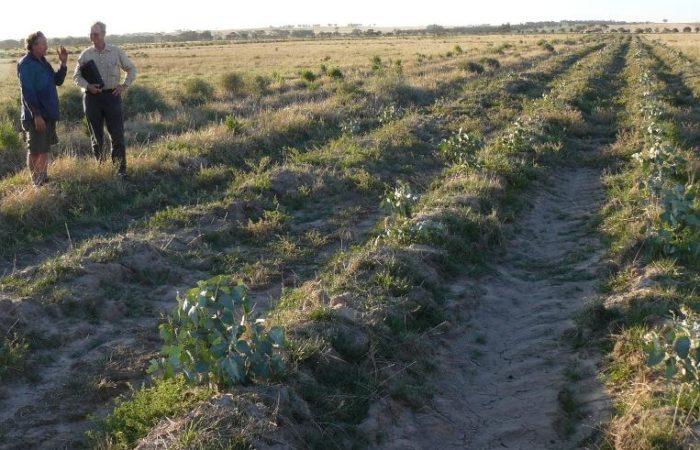 CFOC - Productive saltbush pastures to combat wind erosion in the M R Catchment